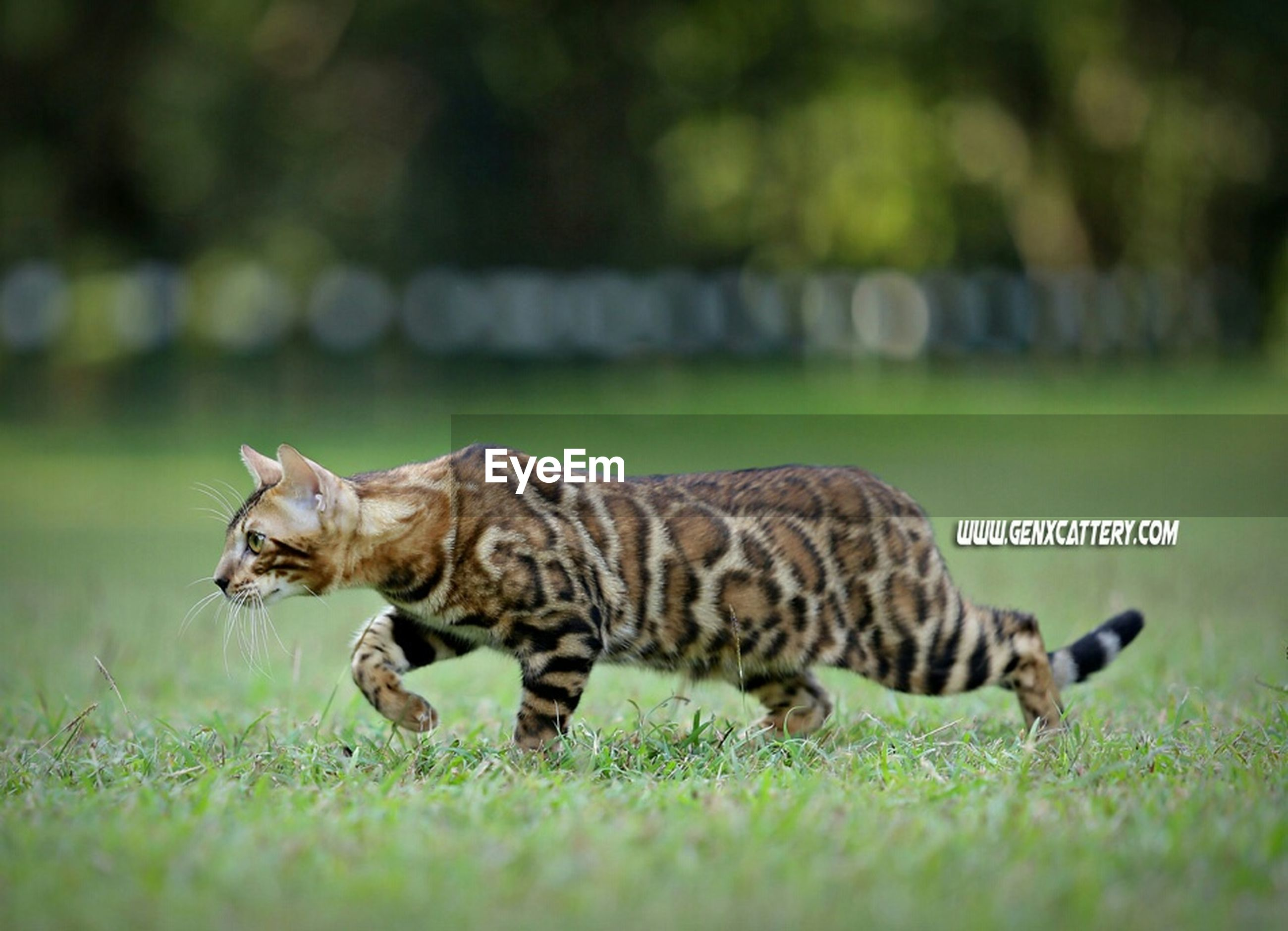 animal themes, one animal, mammal, grass, focus on foreground, animals in the wild, wildlife, feline, side view, relaxation, field, domestic animals, pets, full length, domestic cat, cat, looking away, whisker, lying down, nature