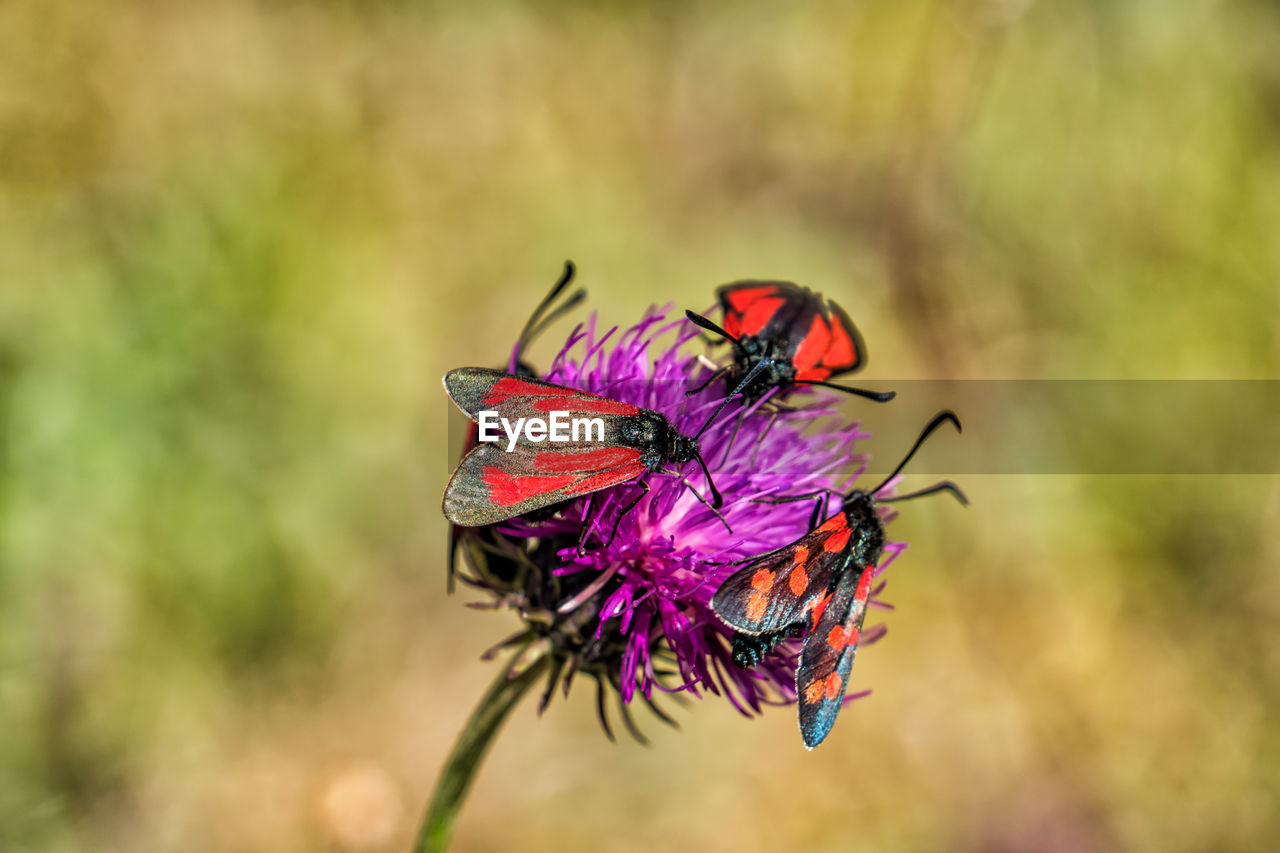 insect, animal wildlife, animal themes, animal, animals in the wild, invertebrate, close-up, focus on foreground, one animal, animal wing, plant, no people, flower, nature, beauty in nature, flowering plant, day, zoology, outdoors, purple, pollination, flower head