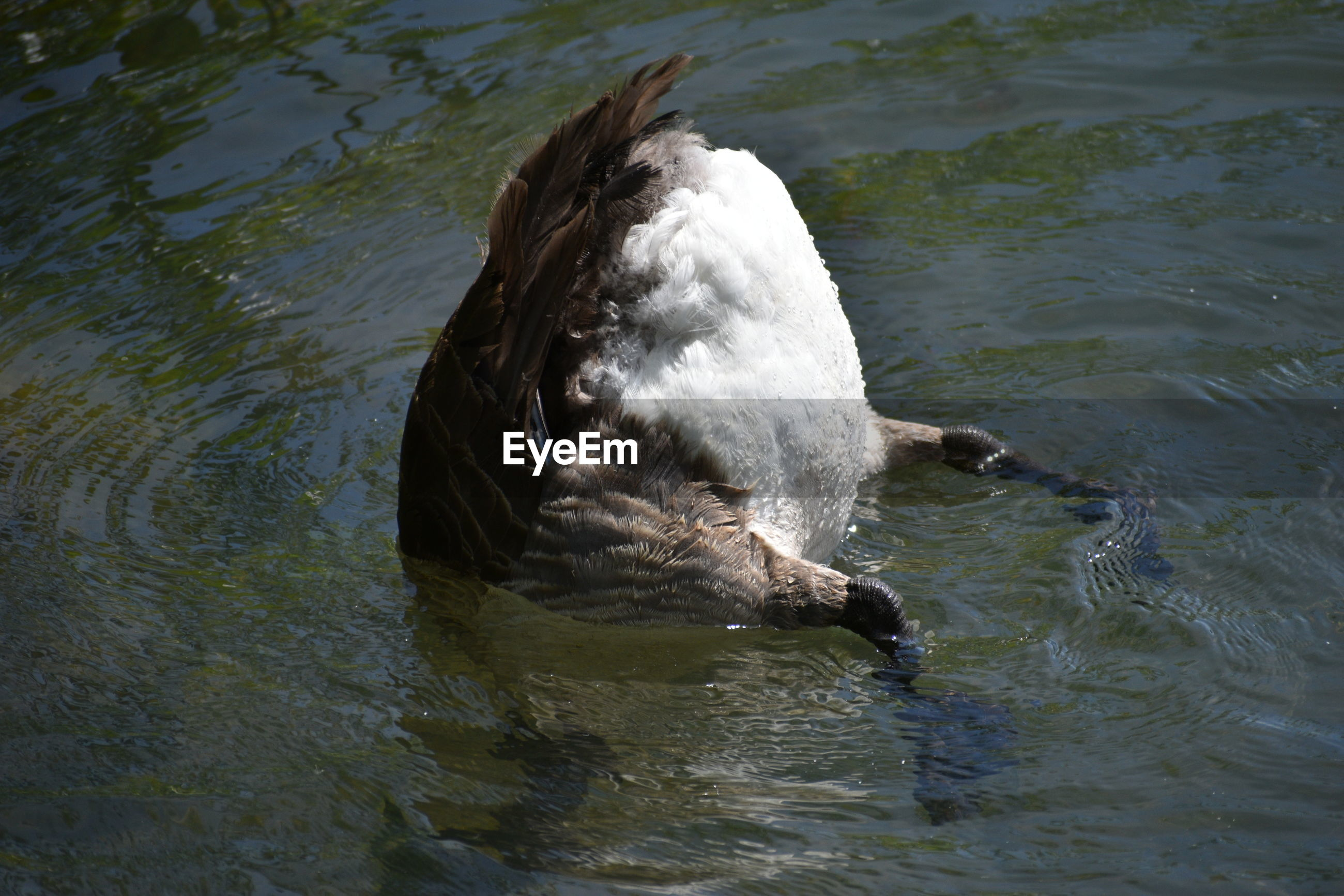 HIGH ANGLE VIEW OF A DUCK SWIMMING IN LAKE