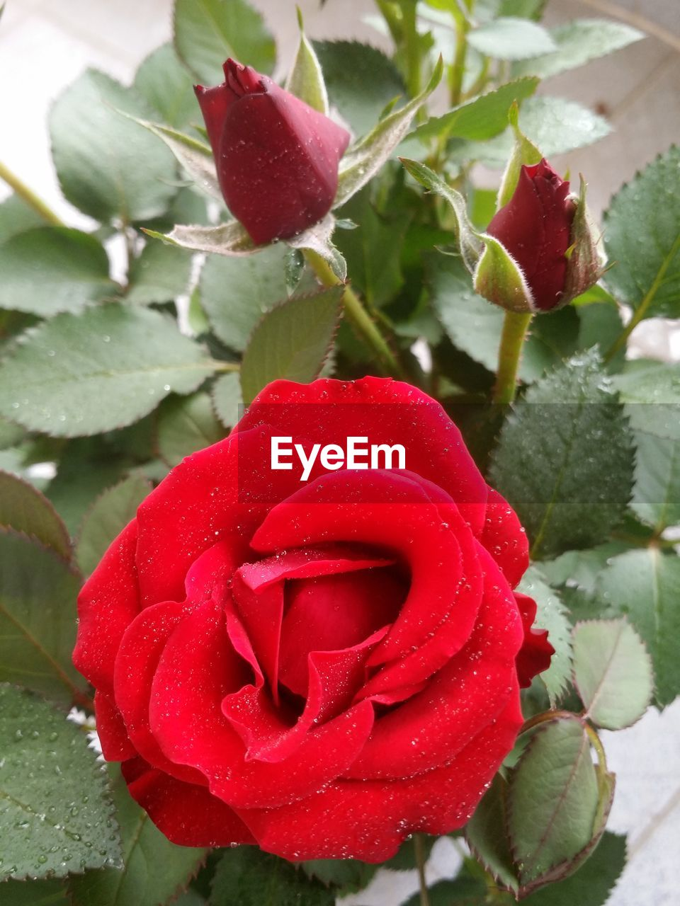 flower, red, beauty in nature, nature, rose - flower, freshness, growth, petal, fragility, plant, drop, wet, flower head, no people, leaf, close-up, water, day, outdoors, blooming, cold temperature, snow