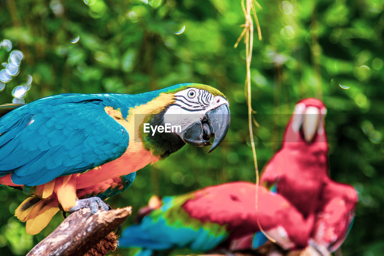 animal, animal themes, animal wildlife, vertebrate, animals in the wild, one animal, bird, macaw, parrot, focus on foreground, no people, day, close-up, perching, gold and blue macaw, nature, plant, outdoors, beak, red