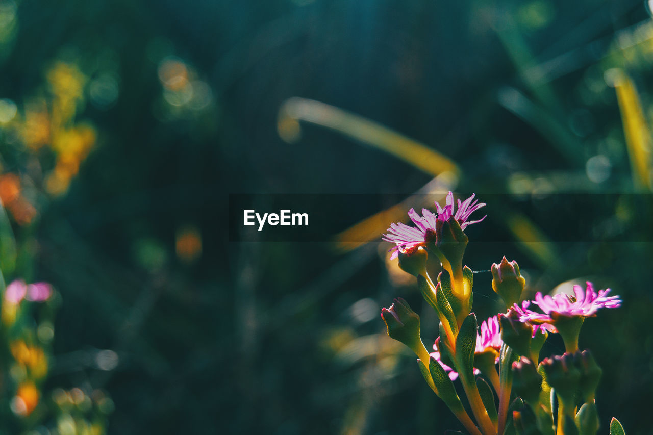 flower, flowering plant, plant, freshness, beauty in nature, vulnerability, fragility, growth, petal, close-up, focus on foreground, nature, flower head, inflorescence, pink color, day, no people, outdoors, purple, botany, pollination