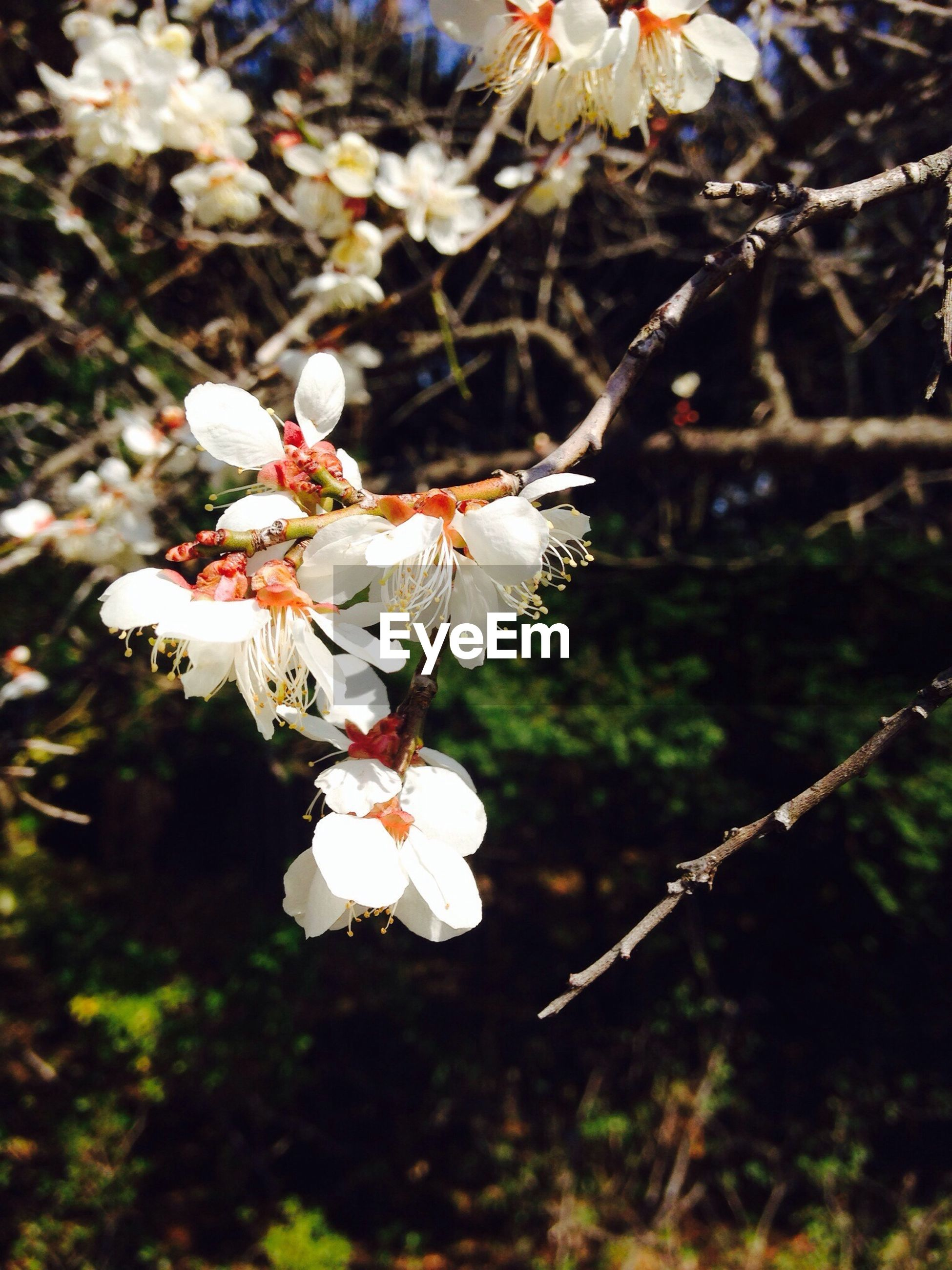 flower, freshness, fragility, growth, petal, white color, beauty in nature, focus on foreground, nature, branch, tree, close-up, blossom, flower head, blooming, in bloom, cherry blossom, twig, stamen, pollen
