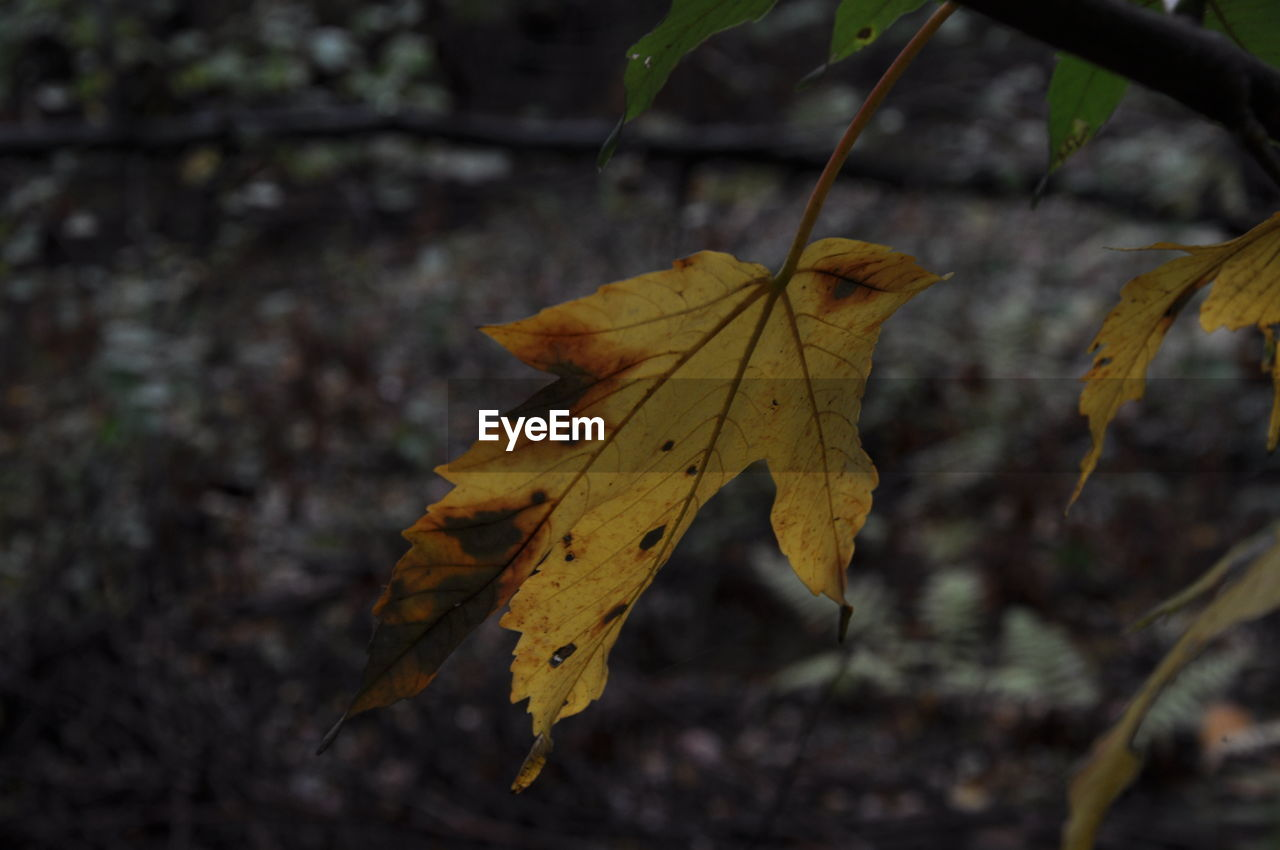leaf, autumn, change, dry, focus on foreground, day, outdoors, maple, close-up, maple leaf, nature, no people, beauty in nature, fragility