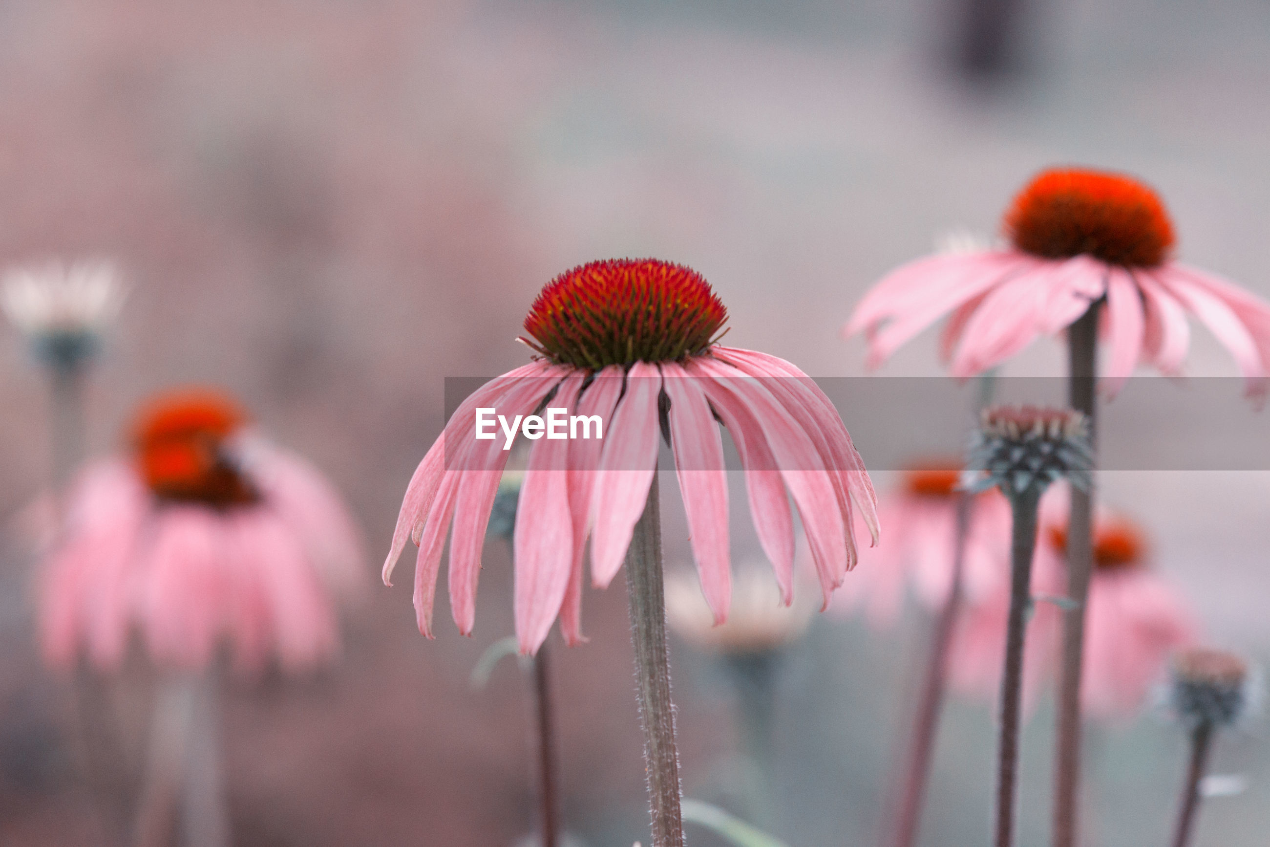 CLOSE-UP OF FRESH PURPLE CONEFLOWER BLOOMING OUTDOORS