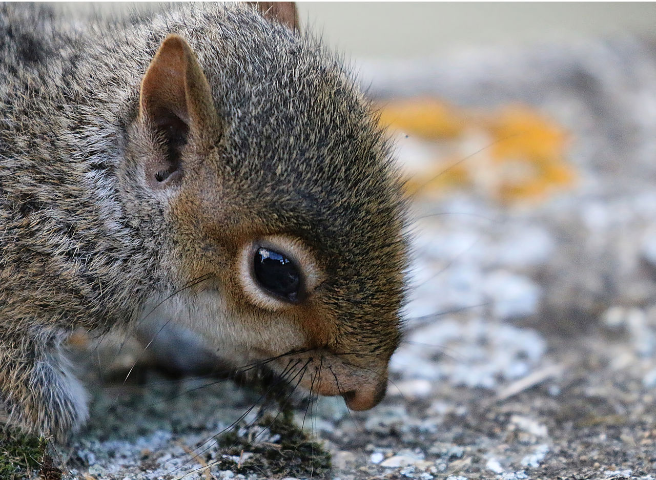 Close-Up Of Young Gray Squirrel On Retaining Wall