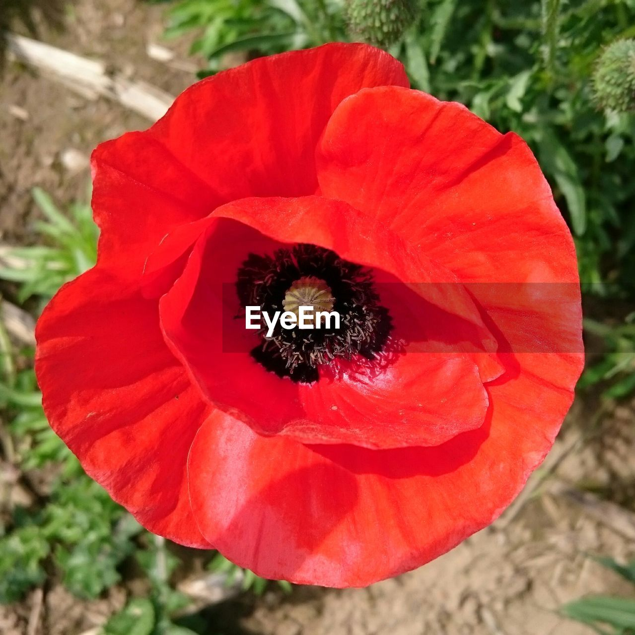 flower, petal, flower head, fragility, beauty in nature, nature, freshness, growth, plant, red, no people, outdoors, day, blooming, close-up, high angle view, field, poppy