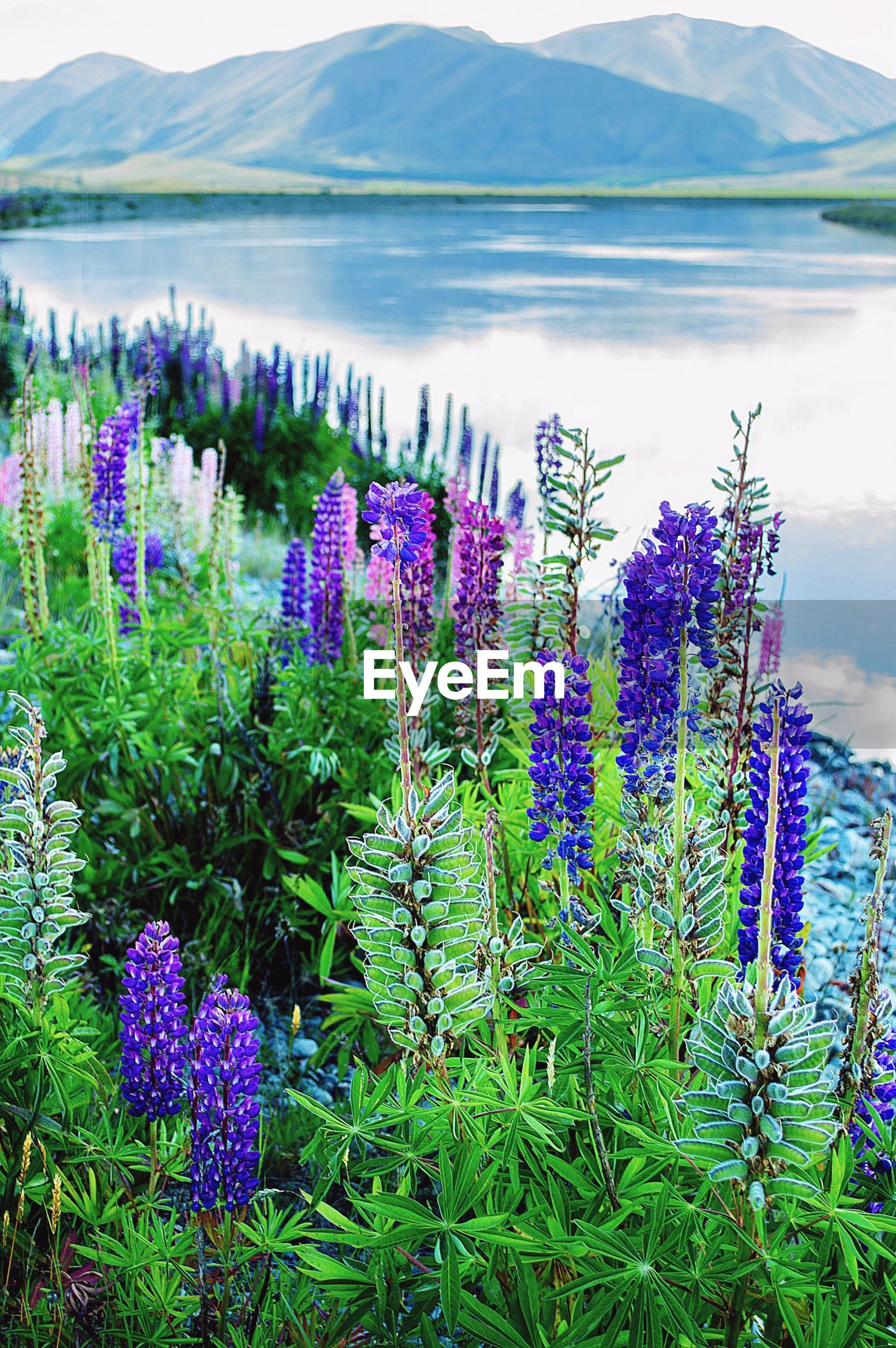 CLOSE-UP OF PURPLE FLOWERING PLANTS BY MOUNTAINS