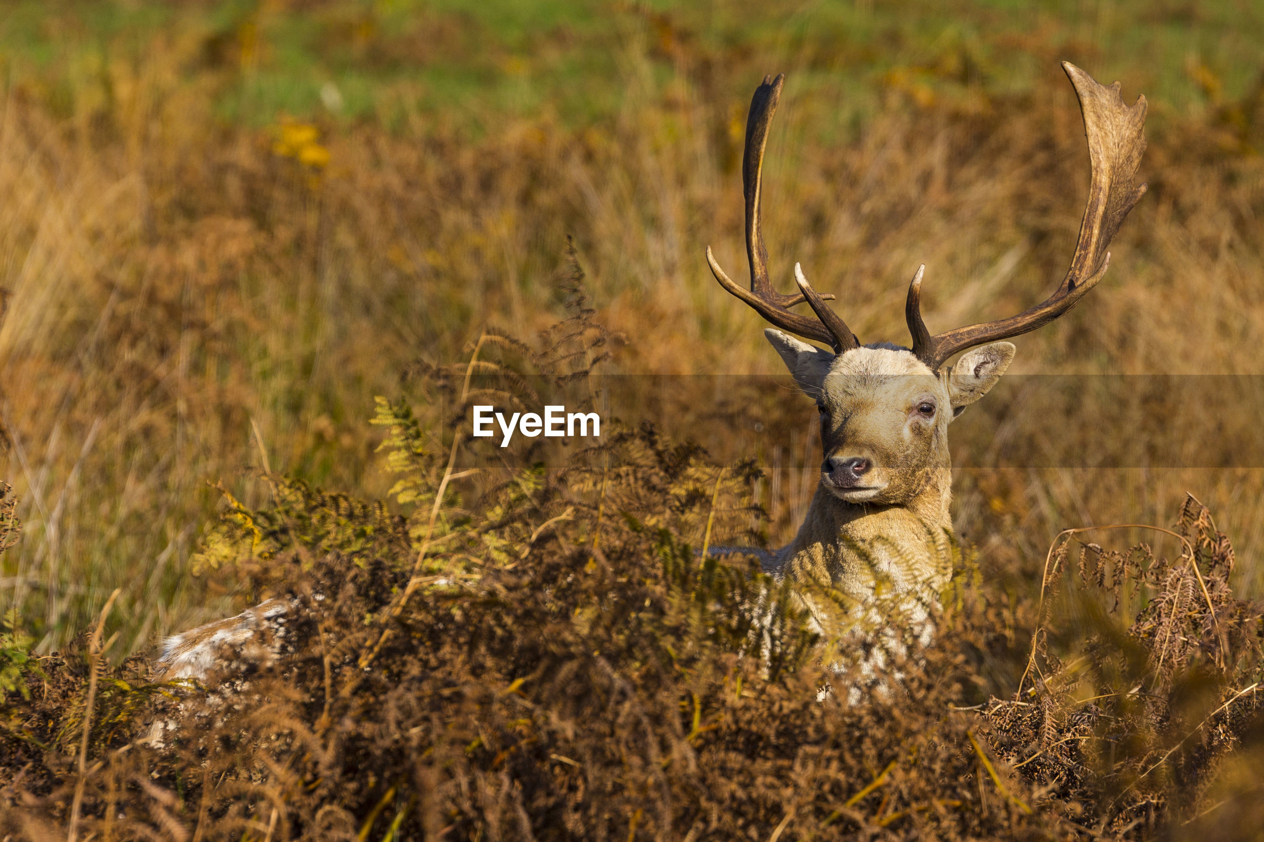 Close-up of deer in grass