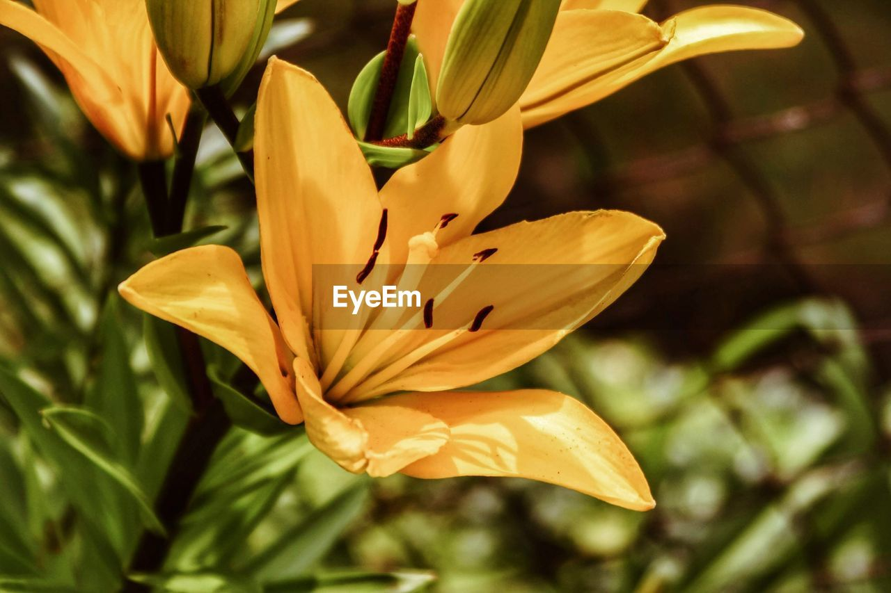 flowering plant, plant, flower, beauty in nature, freshness, close-up, petal, fragility, vulnerability, growth, flower head, inflorescence, focus on foreground, yellow, no people, nature, lily, day, botany, outdoors, pollen