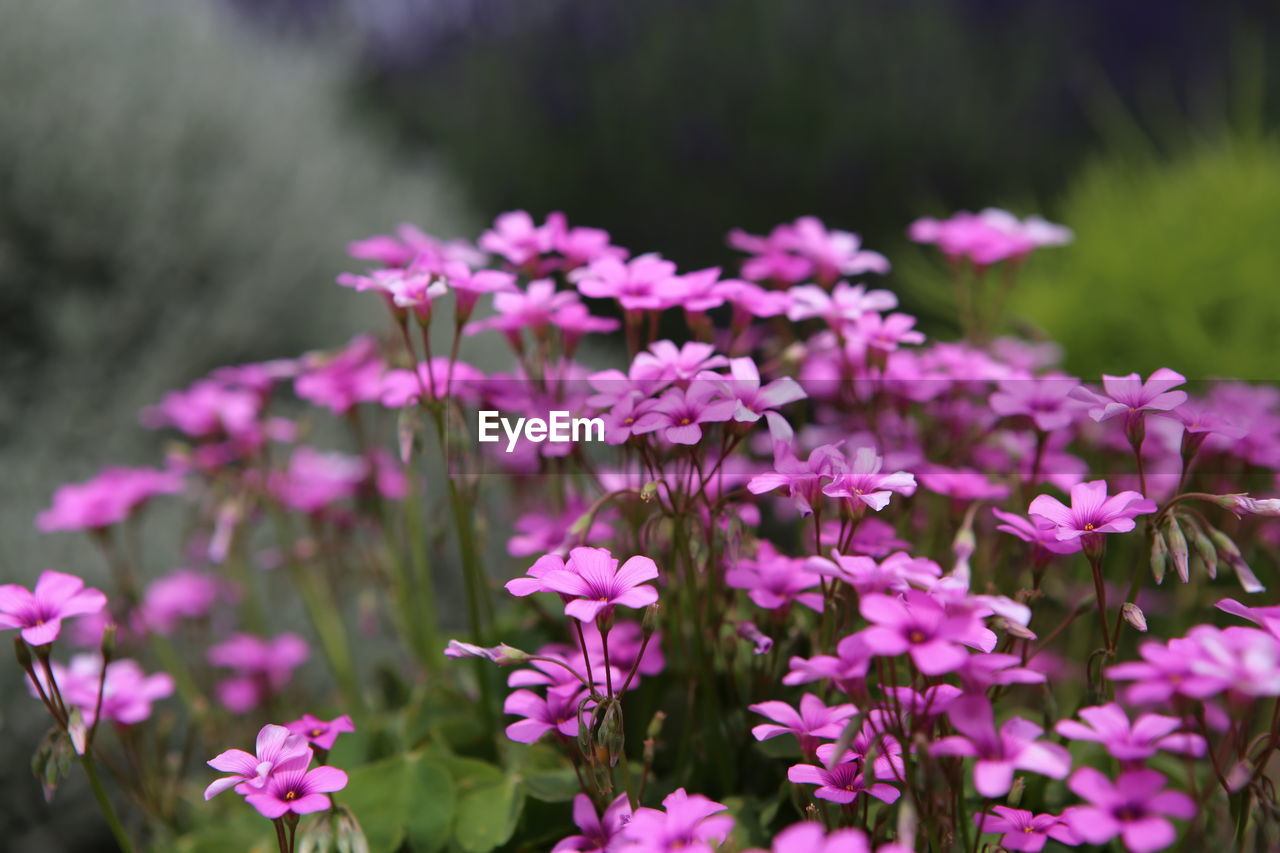flowering plant, flower, plant, freshness, vulnerability, fragility, beauty in nature, growth, pink color, petal, flower head, close-up, focus on foreground, inflorescence, nature, day, no people, purple, outdoors, land