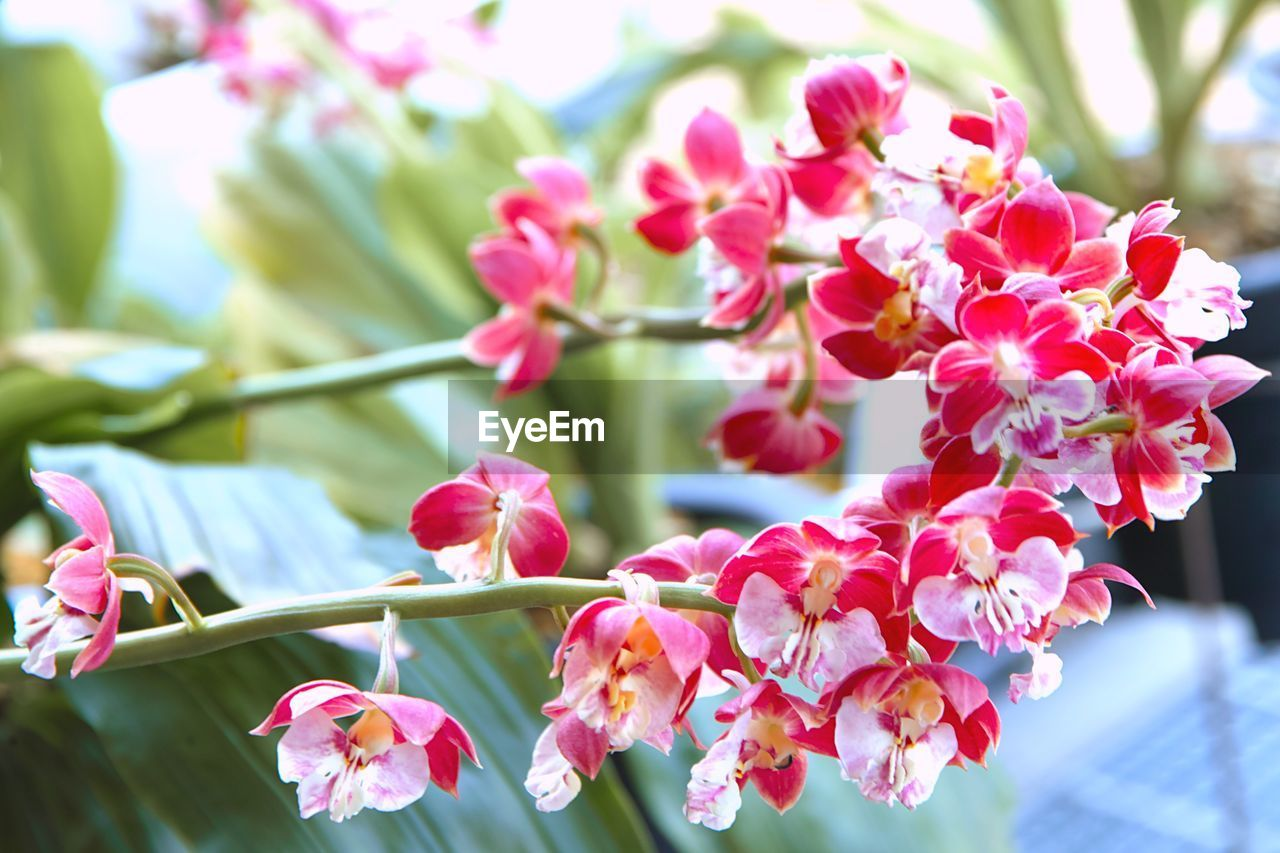 flower, beauty in nature, fragility, growth, petal, freshness, nature, pink color, day, branch, tree, blossom, springtime, outdoors, no people, flower head, blooming, focus on foreground, close-up, twig, bougainvillea
