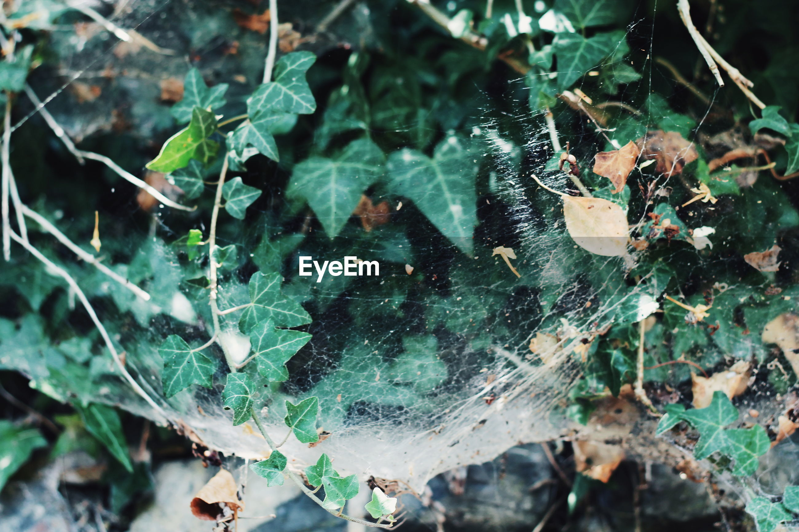CLOSE-UP OF WET SPIDER WEB ON PLANTS