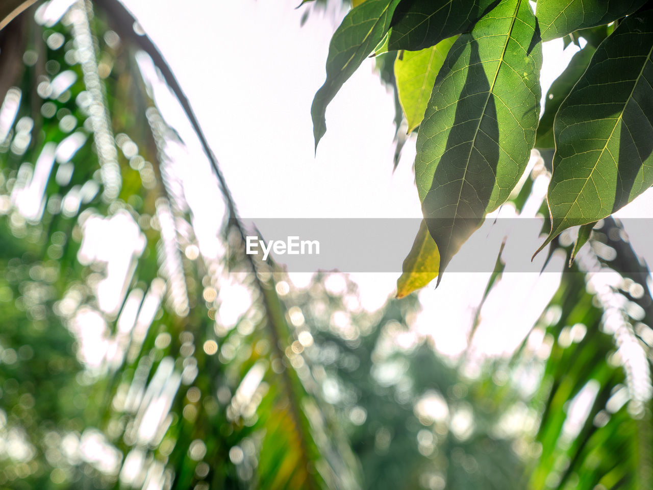 leaf, plant part, plant, growth, low angle view, tree, green color, nature, beauty in nature, focus on foreground, day, no people, branch, close-up, outdoors, sky, selective focus, tranquility, hanging, leaves, directly below