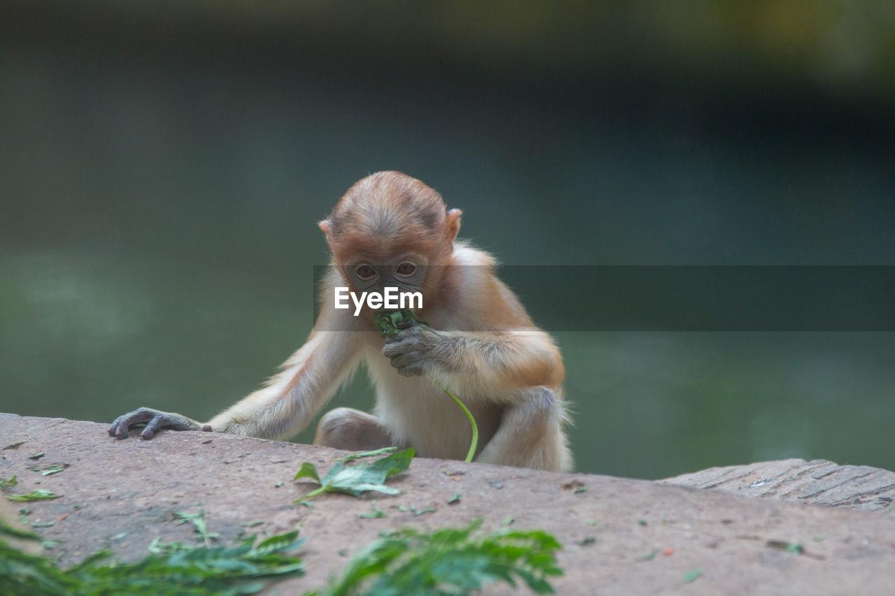 Monkey Eating Outdoors
