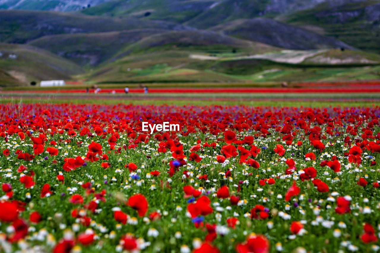 SCENIC VIEW OF RED FLOWERING PLANTS ON LAND