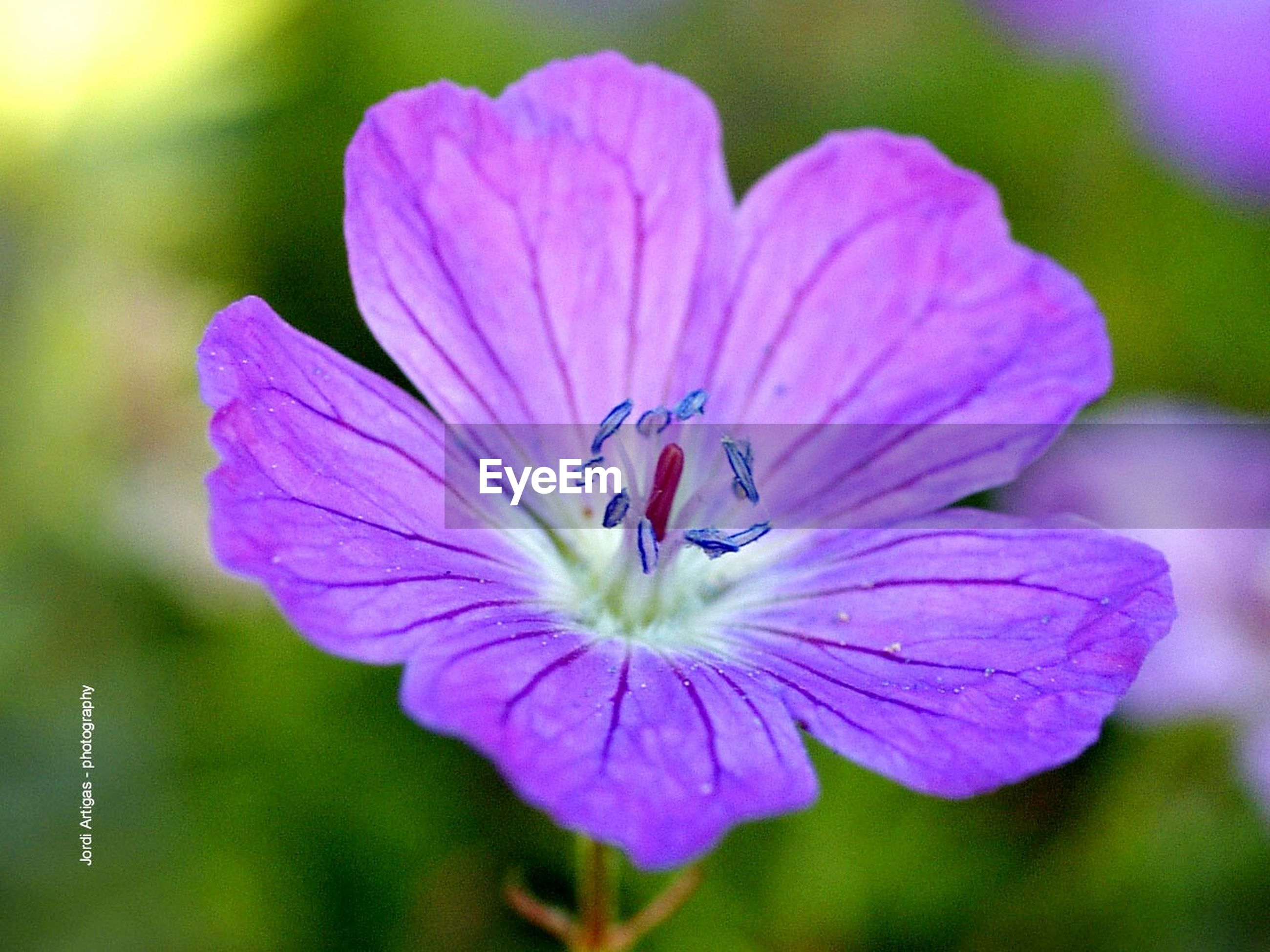 flower, petal, freshness, flower head, fragility, close-up, growth, beauty in nature, single flower, focus on foreground, nature, blooming, purple, pollen, pink color, stamen, plant, selective focus, in bloom, blossom