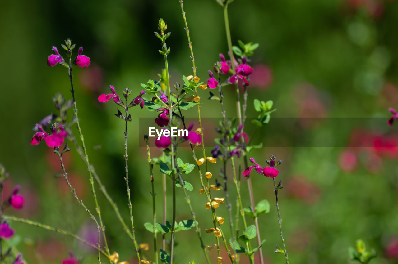 plant, flower, flowering plant, growth, beauty in nature, vulnerability, pink color, fragility, freshness, close-up, nature, focus on foreground, day, no people, green color, selective focus, petal, purple, outdoors, plant stem, flower head