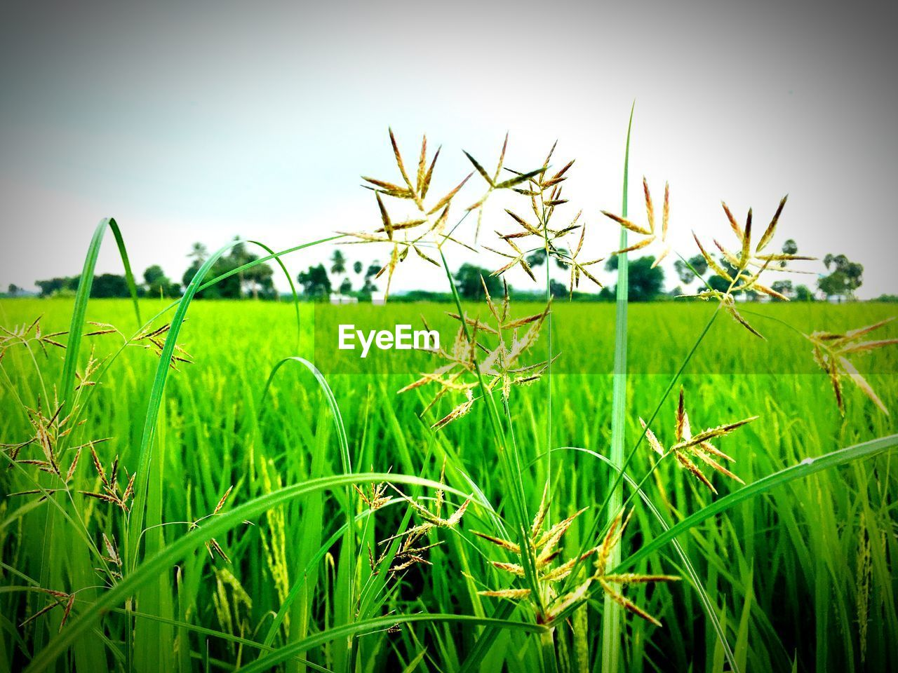 plant, growth, green color, sky, field, land, grass, nature, beauty in nature, tranquility, tranquil scene, landscape, day, no people, scenics - nature, environment, clear sky, close-up, selective focus, outdoors, blade of grass, surface level