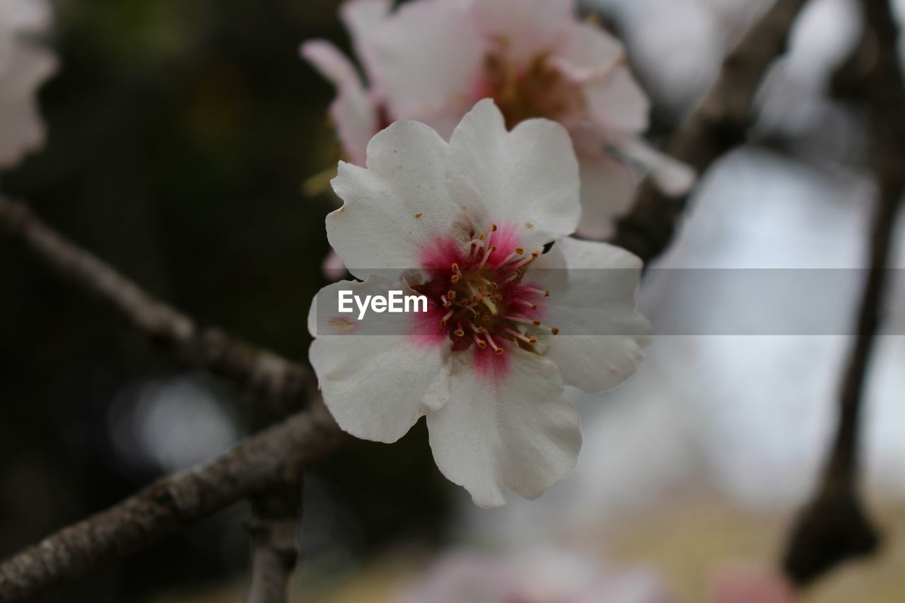 flower, white color, fragility, petal, beauty in nature, nature, growth, freshness, flower head, blossom, botany, focus on foreground, day, springtime, close-up, no people, selective focus, tree, stamen, plum blossom, outdoors, plant, branch, blooming