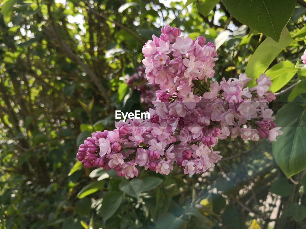 flowering plant, flower, plant, vulnerability, fragility, growth, pink color, freshness, beauty in nature, petal, tree, close-up, nature, plant part, leaf, day, no people, botany, blossom, inflorescence, flower head, outdoors, springtime, lilac, bunch of flowers, cherry blossom