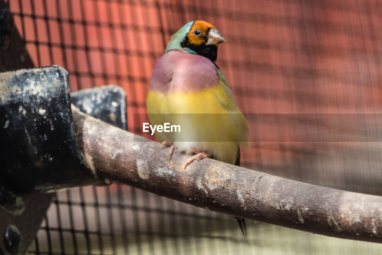 bird, vertebrate, perching, animal themes, one animal, animal, animal wildlife, animals in the wild, focus on foreground, day, no people, close-up, nature, outdoors, metal, parrot, branch, parakeet, tree, multi colored