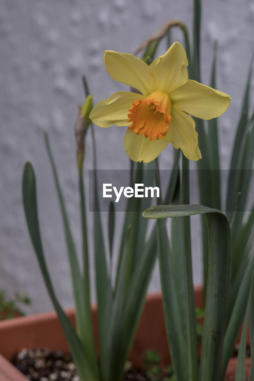 flower, growth, petal, plant, yellow, beauty in nature, nature, freshness, fragility, daffodil, flower head, no people, blooming, close-up, outdoors, day