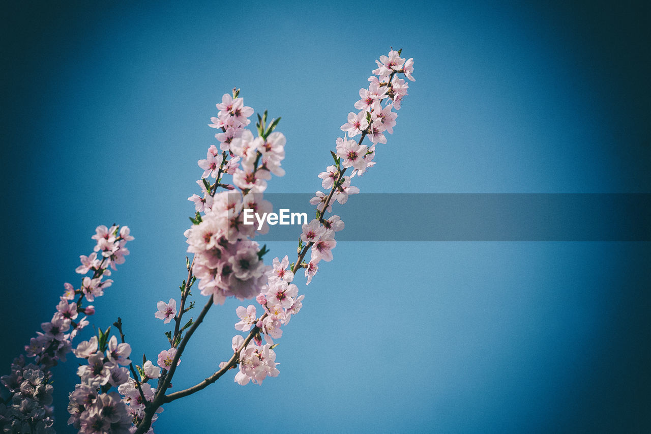 Low Angle View Of Cherry Blossoms In Spring Against Clear Blue Sky