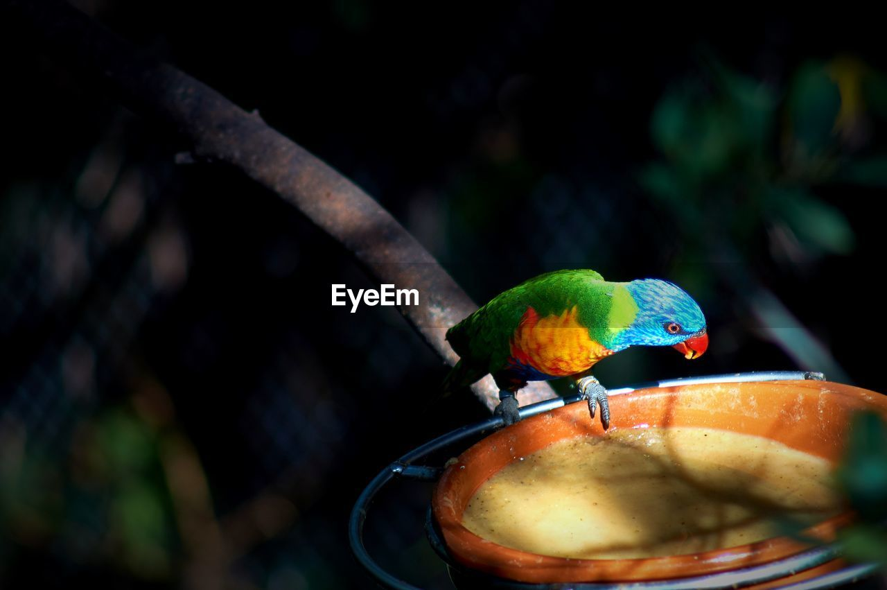 bird, animals in the wild, perching, animal themes, one animal, animal wildlife, parrot, rainbow lorikeet, multi colored, nature, no people, day, outdoors, close-up, beauty in nature