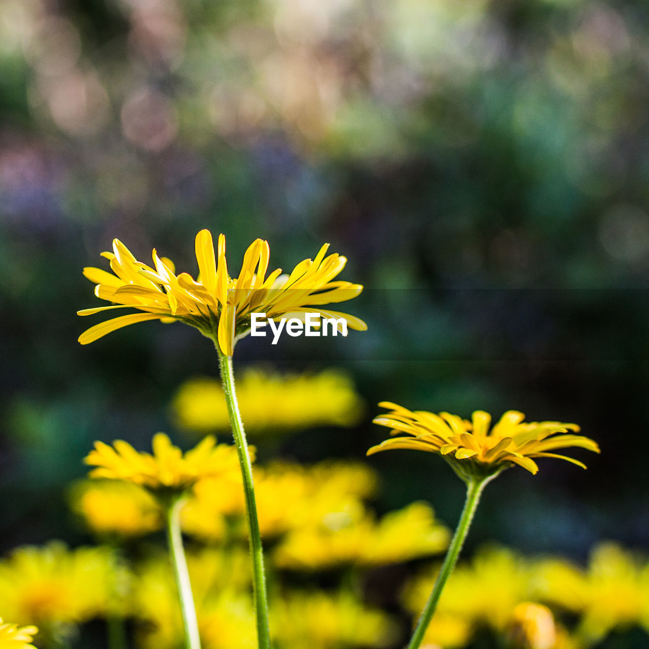 flower, yellow, growth, fragility, nature, petal, beauty in nature, plant, freshness, flower head, blooming, focus on foreground, outdoors, field, no people, day, close-up