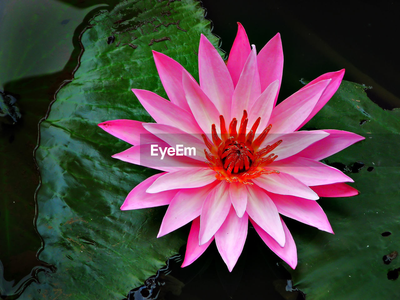 flower, petal, beauty in nature, flower head, freshness, nature, fragility, growth, high angle view, pink color, plant, leaf, close-up, no people, day, outdoors, blooming, water