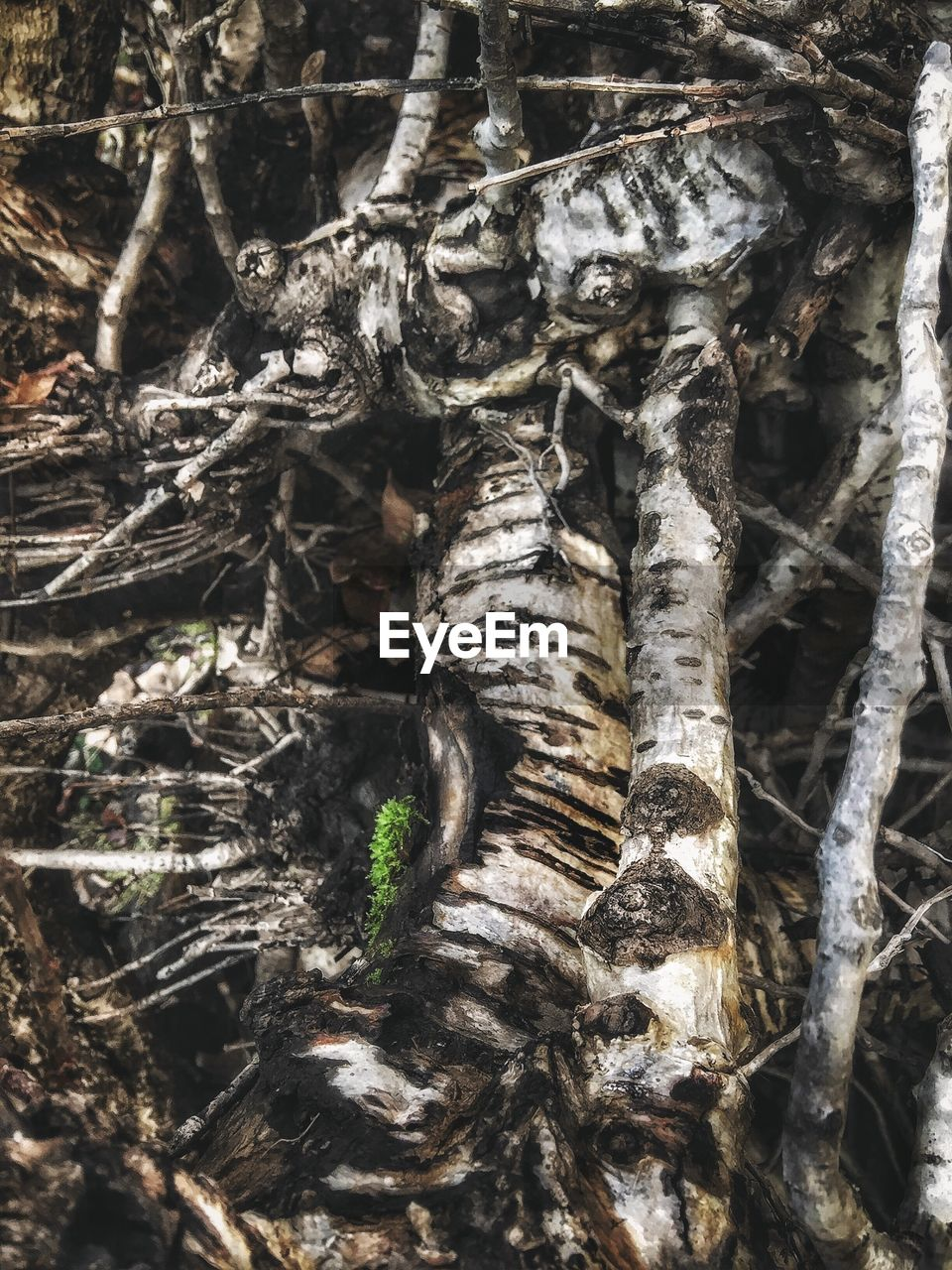 no people, tree trunk, day, outdoors, nature, close-up, tree, animal themes