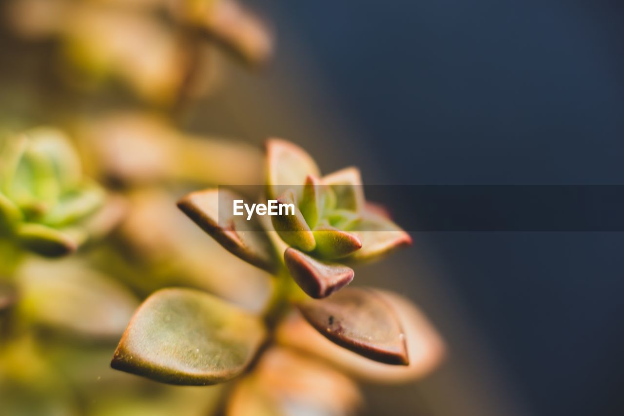 selective focus, no people, growth, close-up, green color, plant, nature, leaf, plant part, beauty in nature, day, outdoors, freshness, vulnerability, tranquility, food, food and drink, fragility, beginnings, healthy eating, spiky