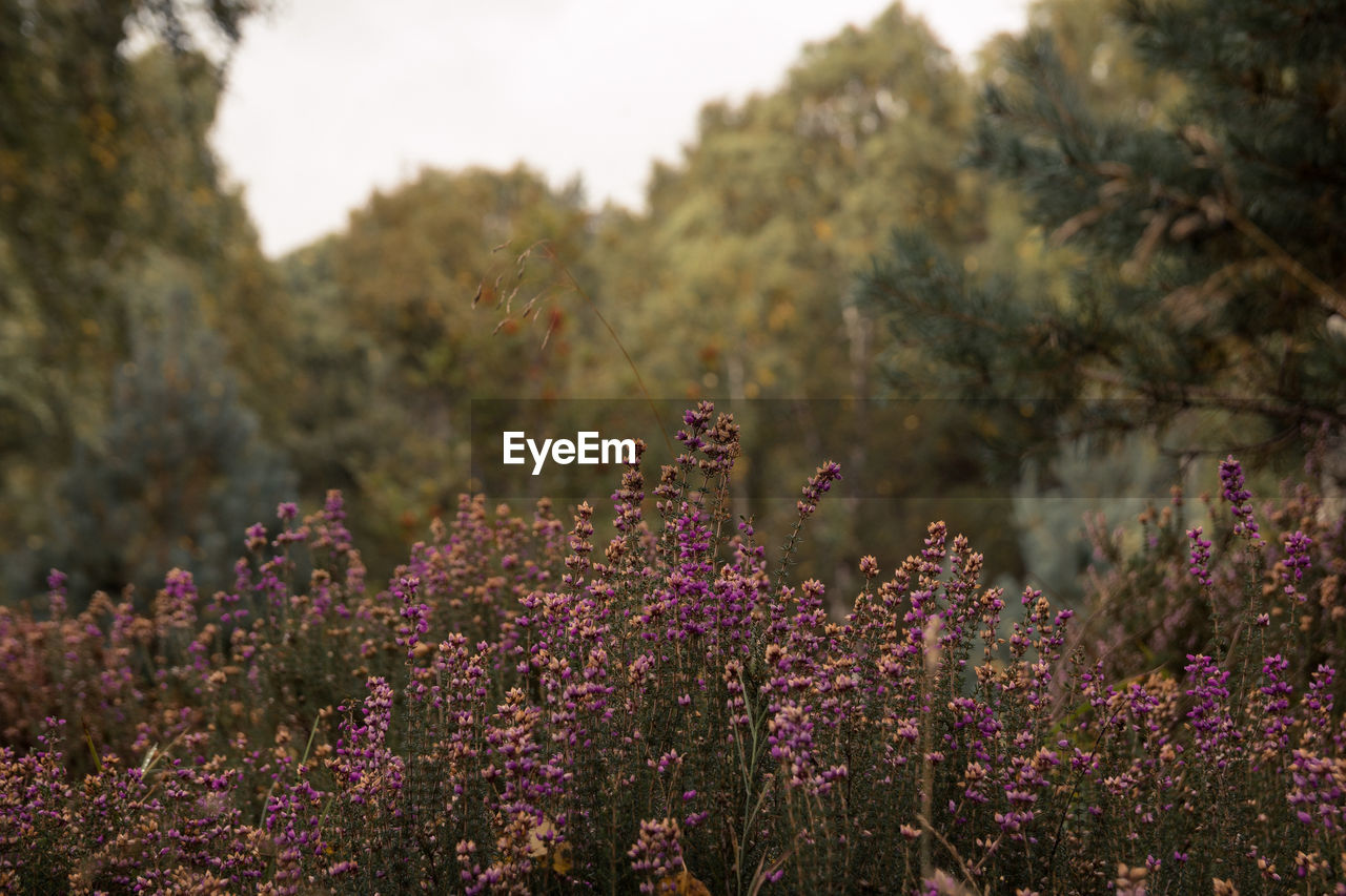 plant, growth, beauty in nature, flower, flowering plant, nature, day, purple, land, no people, lavender, freshness, field, focus on foreground, tranquility, fragility, outdoors, vulnerability, selective focus, tree, flower head