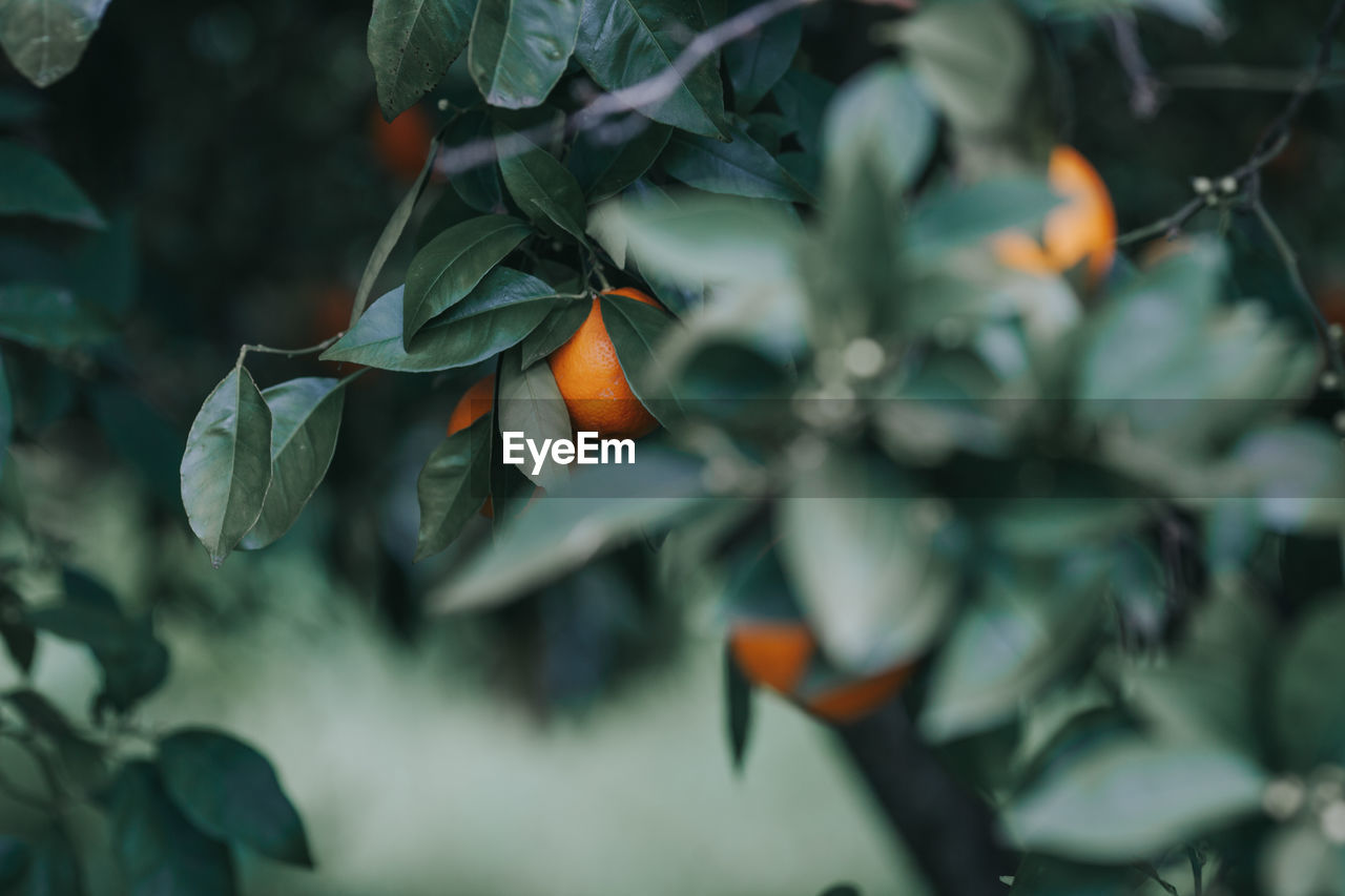 fruit, growth, orange color, healthy eating, food and drink, leaf, food, plant part, plant, green color, close-up, no people, tree, beauty in nature, citrus fruit, freshness, day, nature, fruit tree, orange, outdoors, ripe