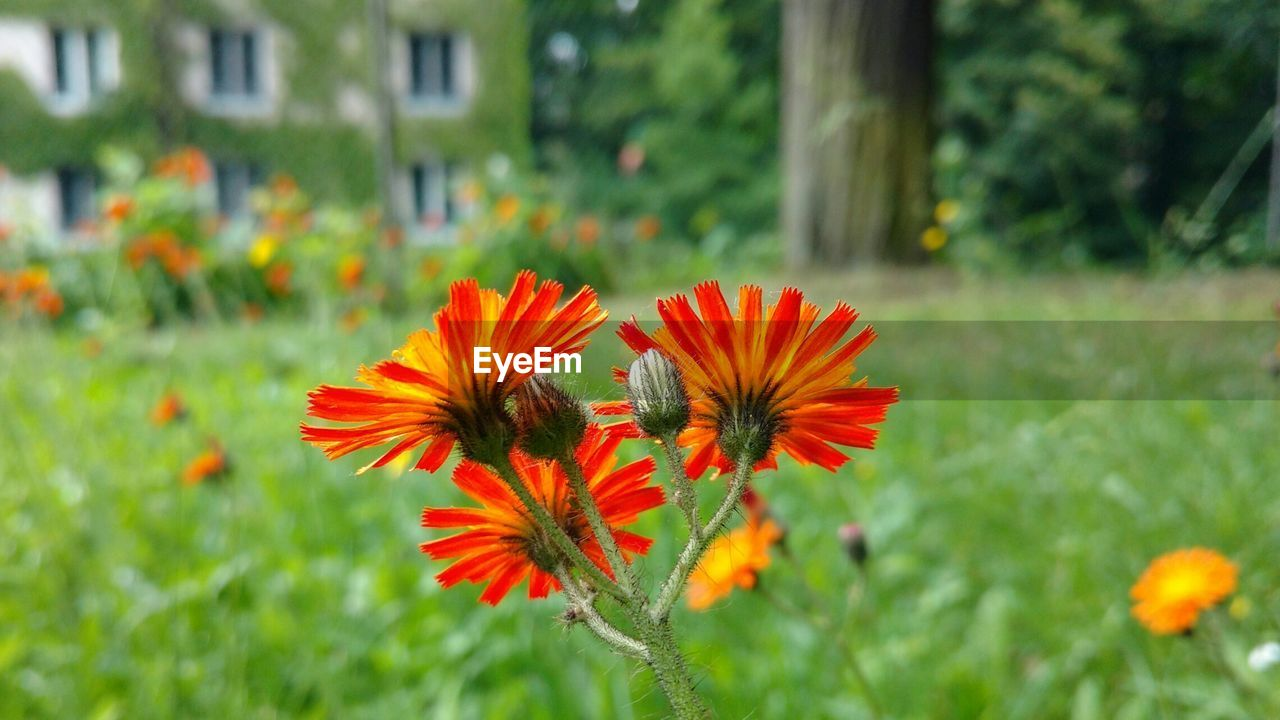 flower, orange color, petal, growth, nature, flower head, plant, blooming, fragility, beauty in nature, focus on foreground, field, freshness, no people, outdoors, day, close-up