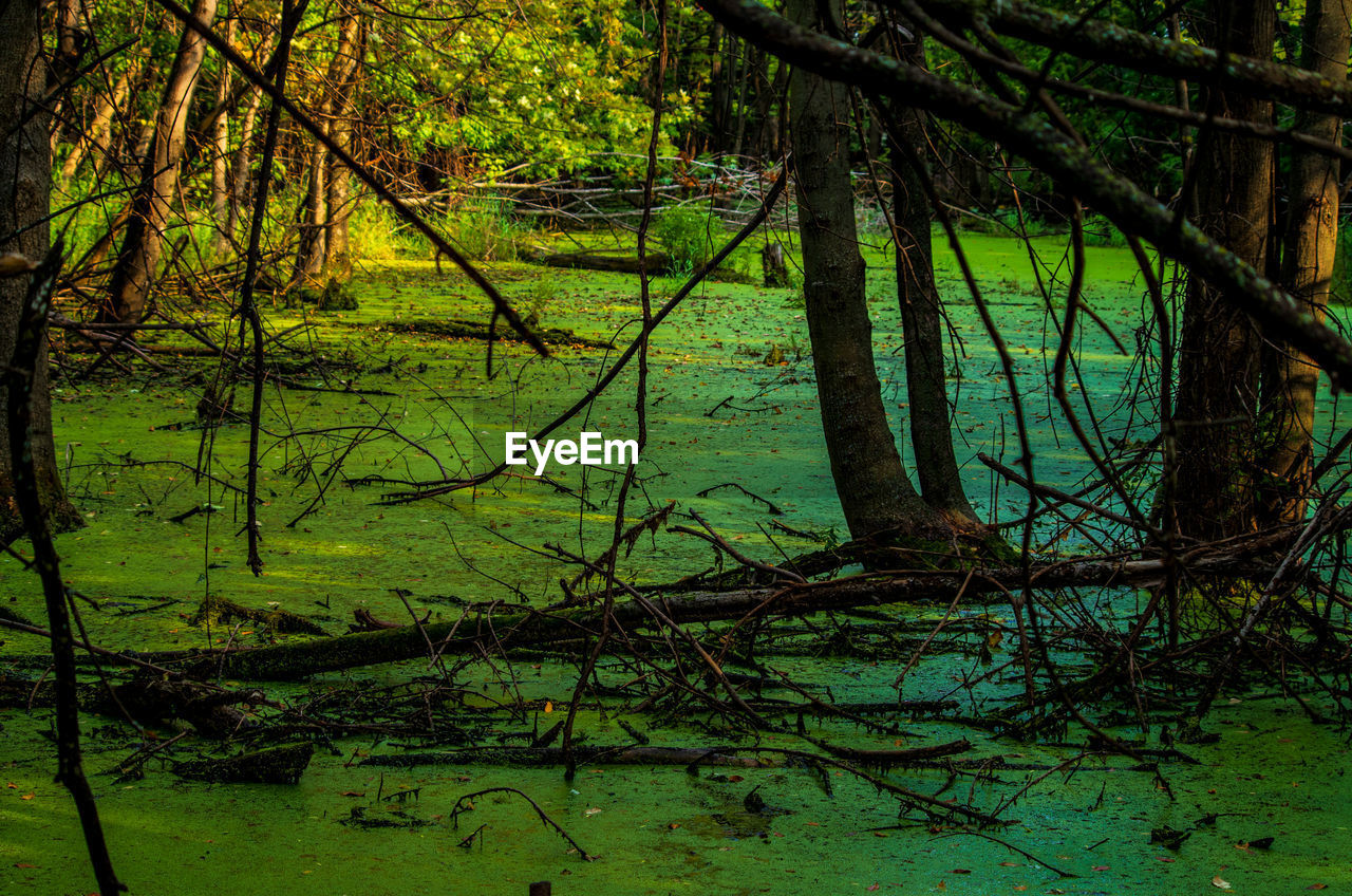 tree, plant, forest, land, trunk, tree trunk, tranquility, beauty in nature, nature, growth, water, no people, green color, woodland, branch, tranquil scene, reflection, lake, scenics - nature, outdoors, swamp