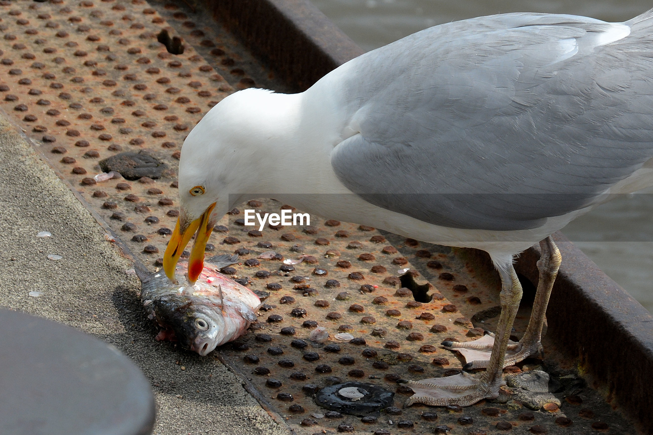 HIGH ANGLE VIEW OF SEAGULL EATING FOOD