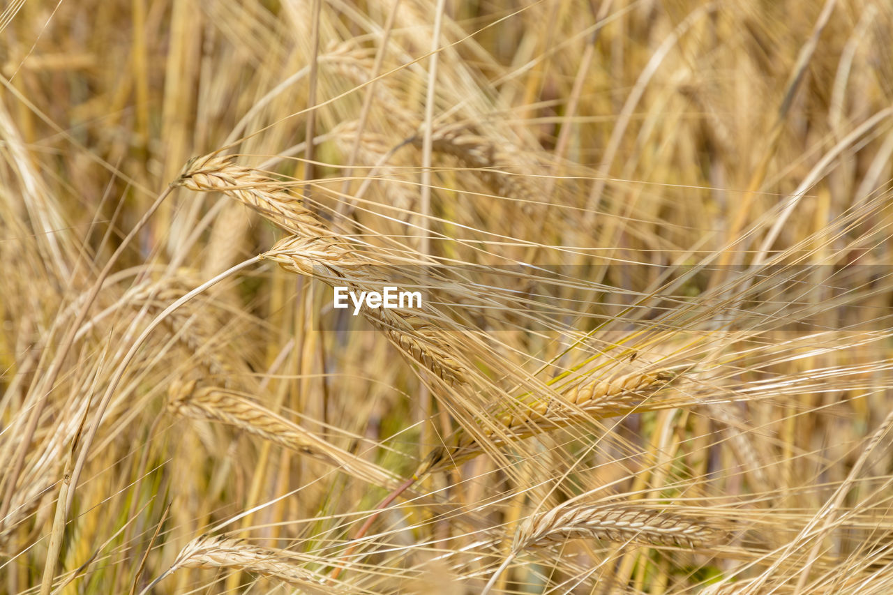 crop, cereal plant, agriculture, plant, wheat, growth, rural scene, land, close-up, farm, nature, field, landscape, no people, beauty in nature, focus on foreground, day, ear of wheat, barley, outdoors, stalk, rye - grain