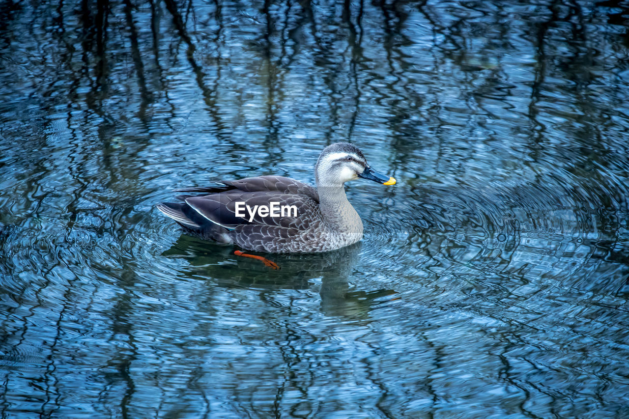 water, animal themes, animal wildlife, bird, animals in the wild, animal, lake, swimming, vertebrate, waterfront, one animal, water bird, nature, no people, day, rippled, poultry, reflection, duck, floating on water, animal family