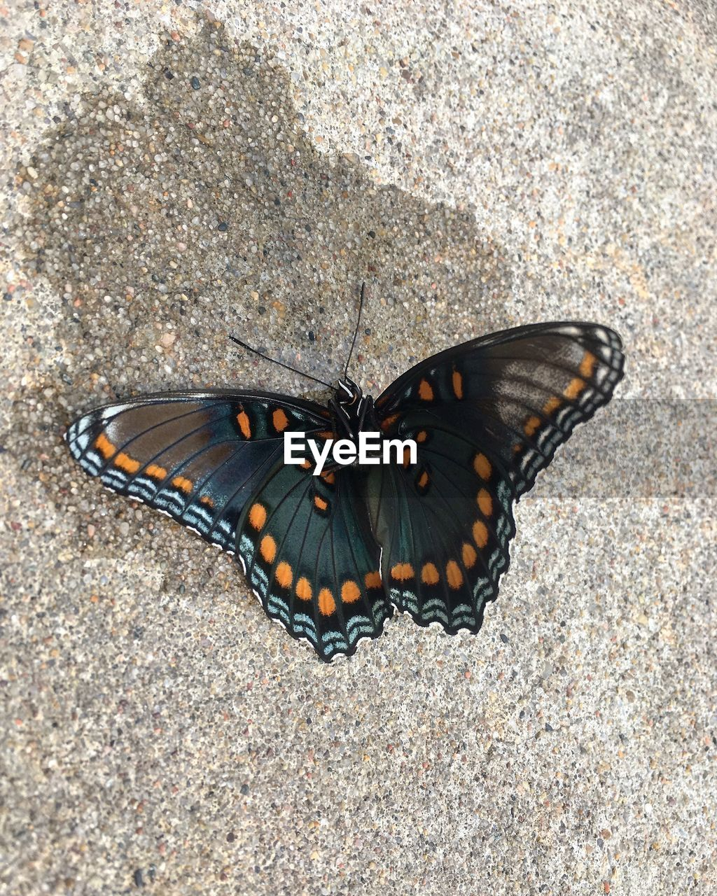 animal wildlife, invertebrate, animal themes, insect, animal, one animal, animal wing, animals in the wild, butterfly - insect, beauty in nature, no people, nature, high angle view, day, close-up, butterfly, animal markings, outdoors, natural pattern, animal body part