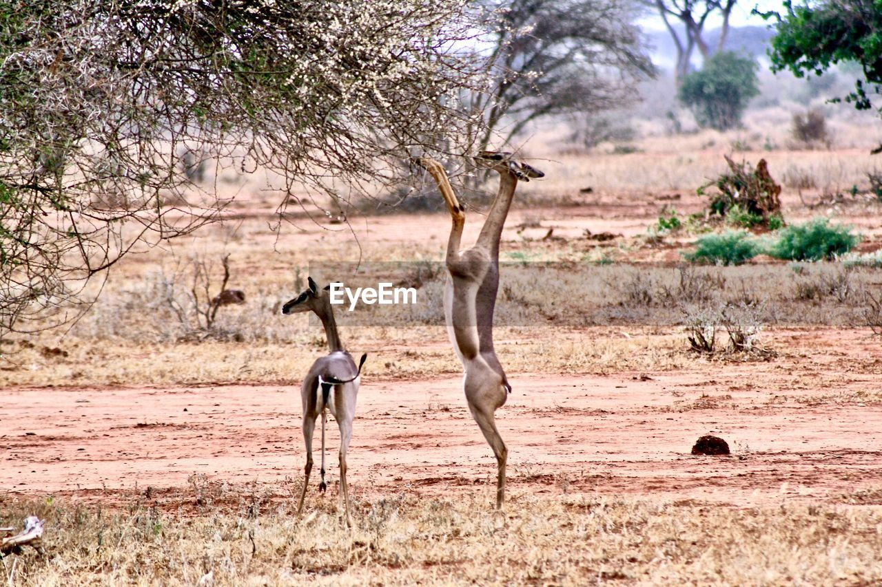 animal, animal wildlife, animals in the wild, animal themes, tree, mammal, group of animals, plant, vertebrate, no people, nature, environment, landscape, antelope, two animals, outdoors, full length, safari, day, scenics - nature, climate, semi-arid, arid climate, herbivorous