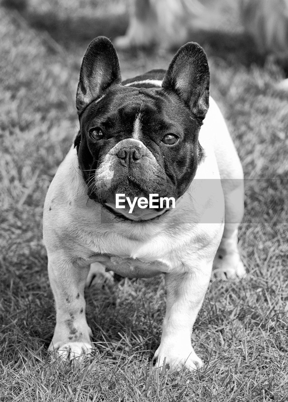 domestic animals, dog, pets, one animal, animal themes, french bulldog, mammal, grass, focus on foreground, outdoors, portrait, no people, boston terrier, day, looking at camera, close-up