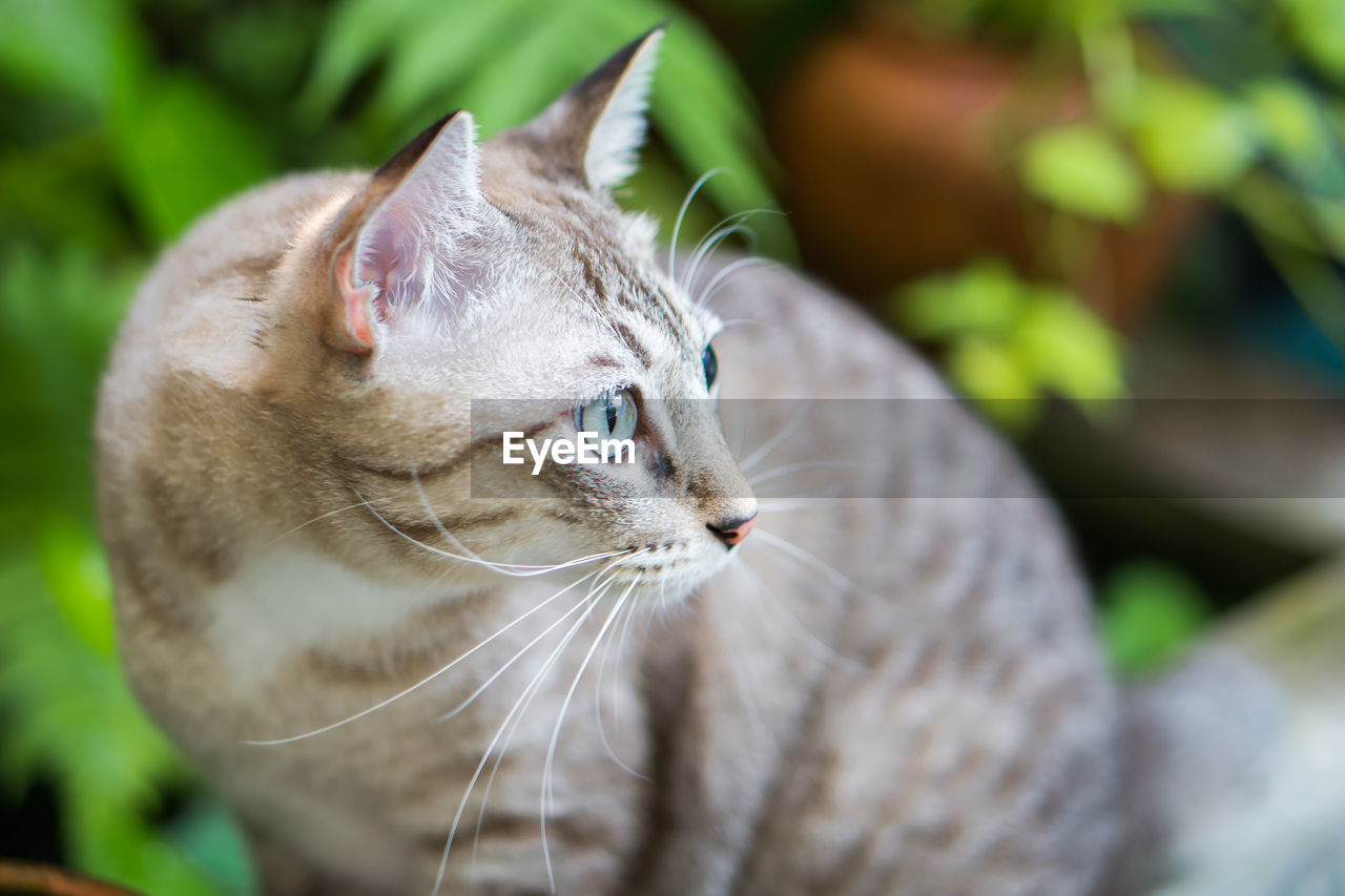 cat, domestic cat, feline, animal themes, one animal, domestic, domestic animals, pets, animal, mammal, vertebrate, looking, close-up, focus on foreground, whisker, no people, animal body part, looking away, day, selective focus, animal head, animal eye