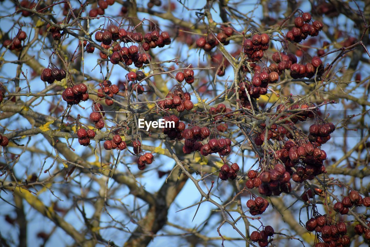 fruit, healthy eating, food and drink, food, plant, tree, berry fruit, branch, growth, red, no people, close-up, day, wellbeing, nature, focus on foreground, beauty in nature, freshness, selective focus, cold temperature, rowanberry, outdoors, ripe