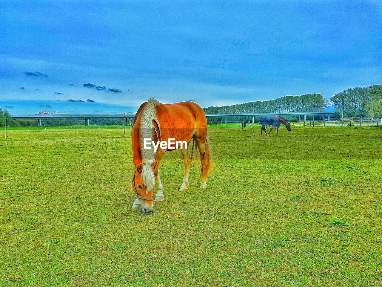 mammal, grass, animal themes, domestic animals, field, livestock, sky, nature, cow, grazing, green color, landscape, no people, one animal, day, outdoors, farm animal, beauty in nature