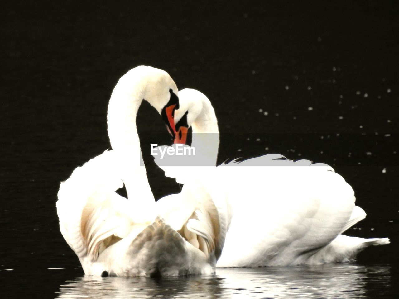 Close-Up Of Swan Floating On Lake