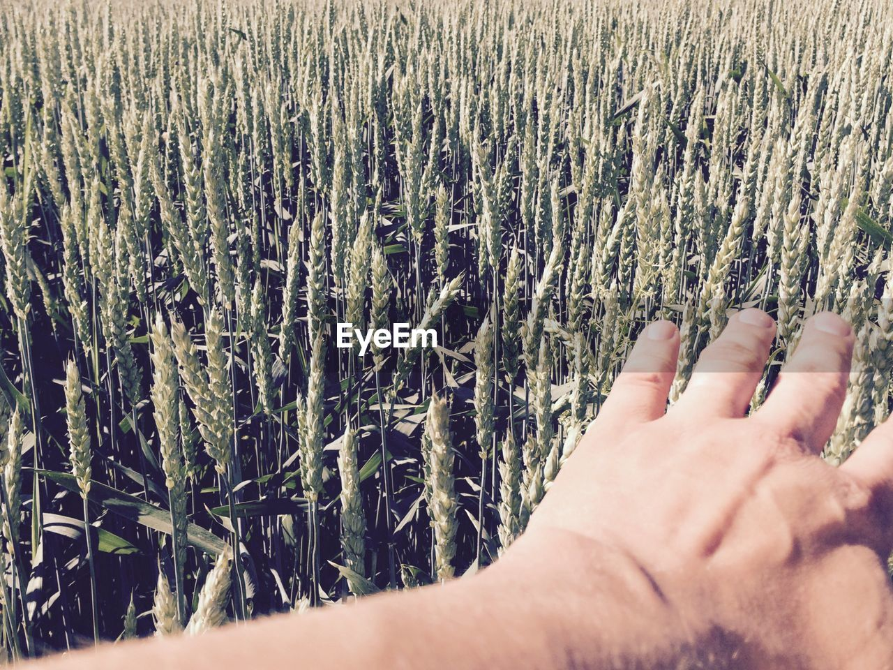 Hand Above Green Wheat