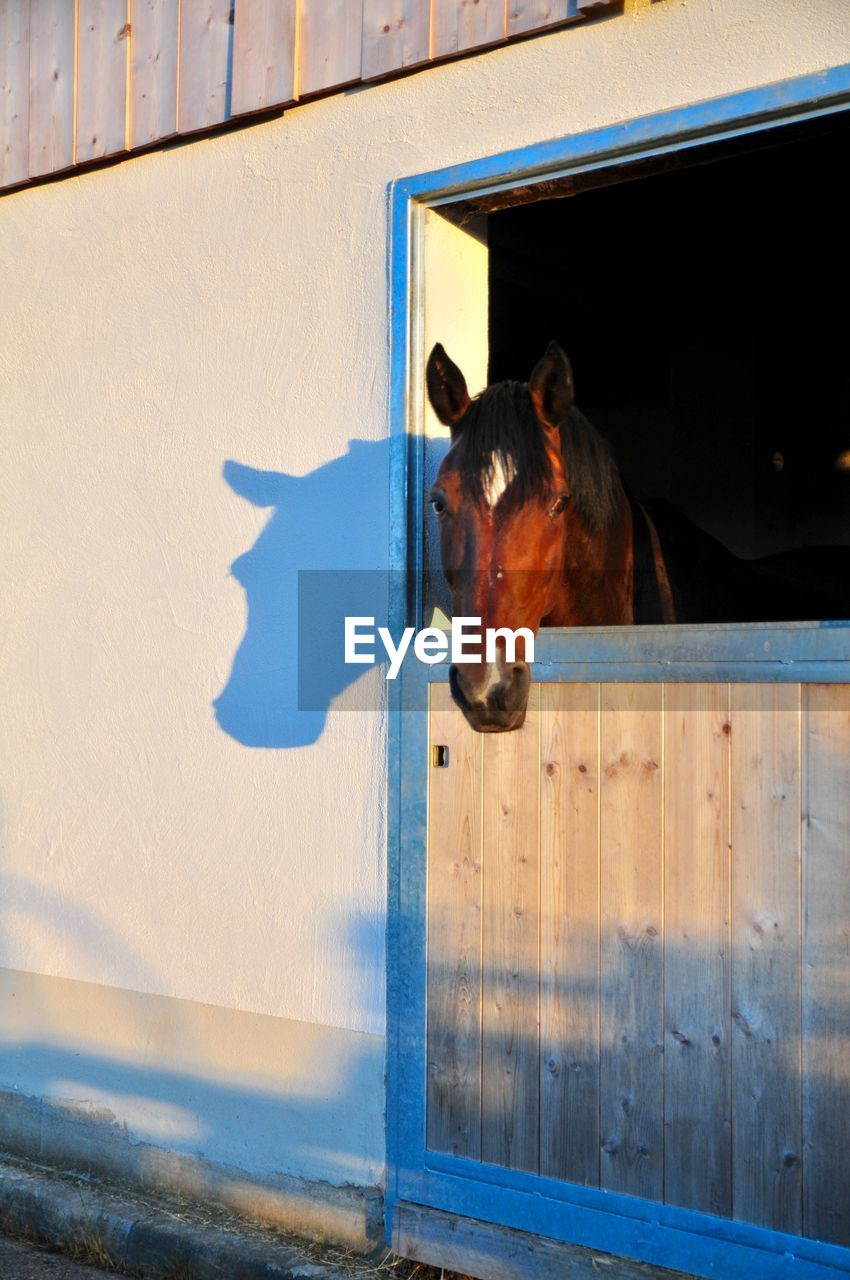 mammal, animal themes, domestic, domestic animals, animal, pets, one animal, vertebrate, livestock, horse, animal wildlife, day, no people, stable, sunlight, nature, outdoors, standing, built structure, shadow, herbivorous, animal head