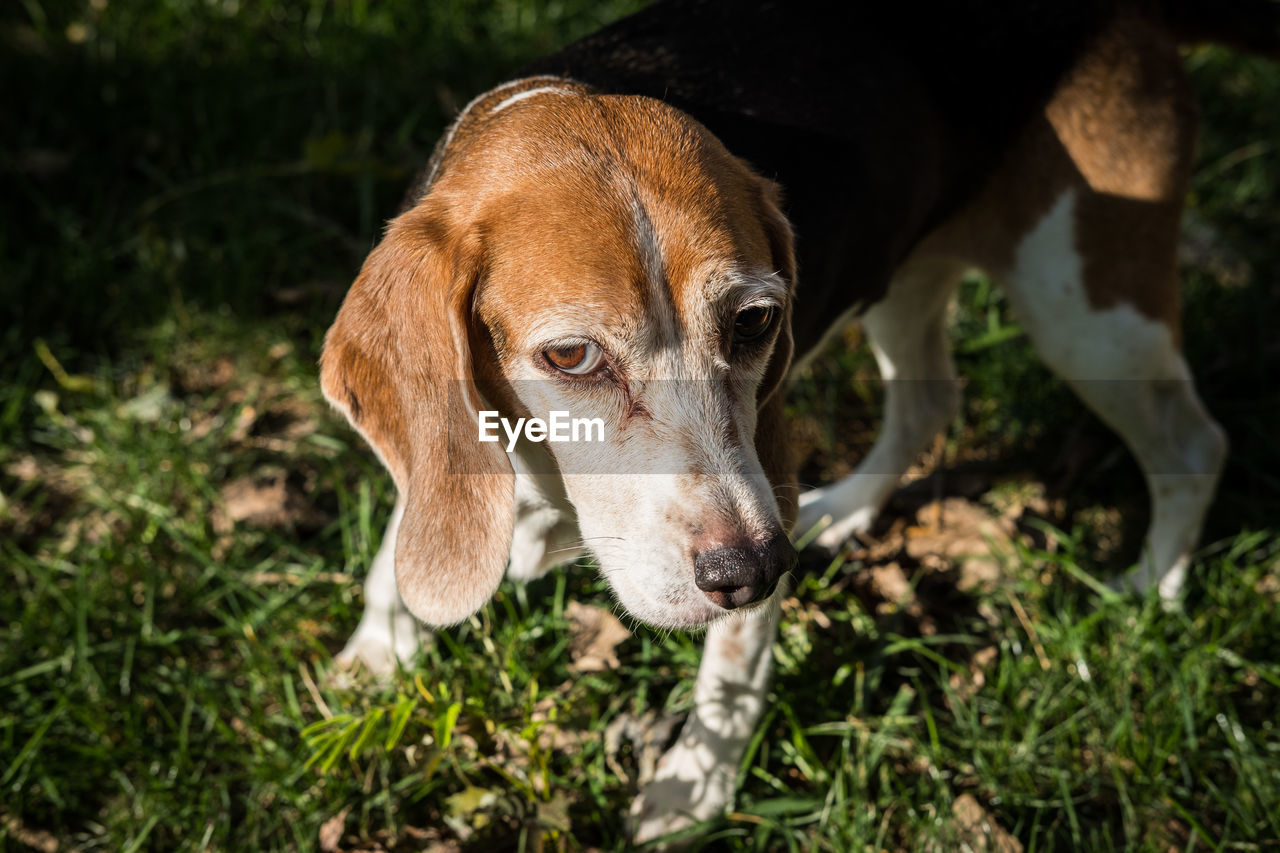 one animal, animal themes, domestic animals, mammal, dog, pets, field, no people, day, outdoors, looking at camera, portrait, nature, grass, close-up